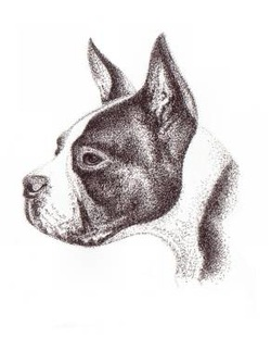 Boston Terrier portraits